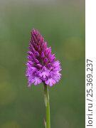 Купить «Pyramidal orchid (Anacamptis pyramidalis) in flower, Bonsall, Peak District, UK», фото № 25369237, снято 23 июля 2018 г. (c) Nature Picture Library / Фотобанк Лори
