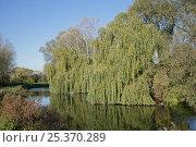 Купить «Weeping willow (Salix alba 'Tristis') on bank of River Lea, Lea Valley Park, Essex, UK, November 2006», фото № 25370289, снято 17 декабря 2017 г. (c) Nature Picture Library / Фотобанк Лори