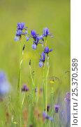 Купить «Siberian irises (Iris sibirica) in flower, Eastern Slovakia, Europe, June 2009», фото № 25370589, снято 20 апреля 2018 г. (c) Nature Picture Library / Фотобанк Лори