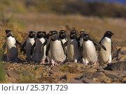 Купить «Rockhopper penguin (Eudyptes chrysocome) flock walking back to colony, Falkland Islands  (non-ex)», фото № 25371729, снято 18 сентября 2019 г. (c) Nature Picture Library / Фотобанк Лори