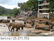 Купить «Asian Elephant (Elaphus maximus) tourists watching herd in river, captive, Pinnawala Elephant Orphanage, Sri Lanka  (non-ex)», фото № 25371753, снято 16 июля 2018 г. (c) Nature Picture Library / Фотобанк Лори