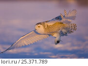 Купить «Snowy owl (Nyctea / Bubo scandiaca) flying over snow with rodent in talons, Norway, February», фото № 25371789, снято 18 июля 2018 г. (c) Nature Picture Library / Фотобанк Лори