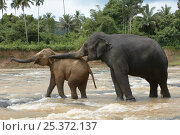 Купить «Asian elephant (Elaphus maximus) older female dominating young calf, captive, Pinnawala Elephant Orphanage, Sri Lanka», фото № 25372137, снято 16 июля 2018 г. (c) Nature Picture Library / Фотобанк Лори