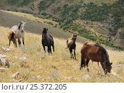 Купить «Horses (Equus caballus) grazing Western slopes of Mount Olympus, Greece.», фото № 25372205, снято 20 января 2018 г. (c) Nature Picture Library / Фотобанк Лори