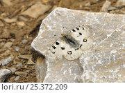 Купить «Parnassus / Mountain apollo butterfly, Thessaly / Mount Olympus subspecies (Parnassius apollo olympiacus) sun basking at 1500m on Mount Olympus, Greece.», фото № 25372209, снято 17 июля 2018 г. (c) Nature Picture Library / Фотобанк Лори