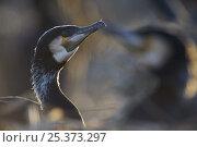 Common / Great cormorant (Phalacrocorax carbo sinensis) Oosterdijk, Enkhuizen, Ijsselmeer, Netherlands, March 2009. Стоковое фото, фотограф Wild Wonders of Europe / Möllers / Nature Picture Library / Фотобанк Лори