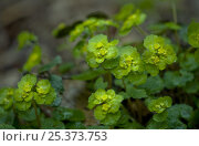Купить «Saxifrage {Chrysosplenium alternifolium} flowers, Central russia, April», фото № 25373753, снято 19 июля 2018 г. (c) Nature Picture Library / Фотобанк Лори