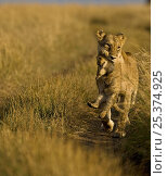 Купить «African lion (Panthera leo) female carrying young cub, Masai Mara, Kenya, Africa (non-ex)», фото № 25374925, снято 7 июля 2020 г. (c) Nature Picture Library / Фотобанк Лори