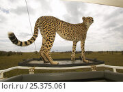 Female Cheetah (Acinonyx jubatus) known as Kike,  who was featured in the BBC Big Cat Diary series, on a car, Masai Mara, Kenya. Стоковое фото, фотограф Andy Rouse / Nature Picture Library / Фотобанк Лори
