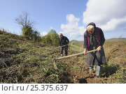 Купить «Elderly woman harvesting crop of potatoes, near Zarnesti, Transylvania, Southern Carpathian Mountains, Romania, October 2008», фото № 25375637, снято 16 июня 2019 г. (c) Nature Picture Library / Фотобанк Лори