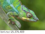 Купить «Panther chameleon (Furcifer pardalis) walking down branch, Madagascar», фото № 25376409, снято 17 июля 2019 г. (c) Nature Picture Library / Фотобанк Лори