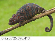 Купить «Oustalet's chameleon (Furcifer oustaleti) female on branch, Madagascar», фото № 25376413, снято 22 июля 2019 г. (c) Nature Picture Library / Фотобанк Лори