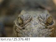Купить «Nile Crocodile (Crocodylus niloticus) close-up of top of head, captive, Madagascar», фото № 25376481, снято 15 октября 2019 г. (c) Nature Picture Library / Фотобанк Лори