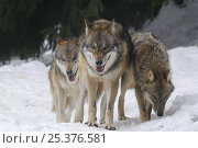 Купить «Three Grey wolves (Canis lupus) in snow, captive, Bayerischer Wald / Bavarian Forest National Park, Germany», фото № 25376581, снято 23 марта 2019 г. (c) Nature Picture Library / Фотобанк Лори