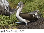 Купить «Blue-footed booby (Sula nebouxii excisa) walking, Punta Cevallos, Española / Hood Island Island, Galapagos Islands, Ecuador, South America», фото № 25377209, снято 17 июня 2019 г. (c) Nature Picture Library / Фотобанк Лори