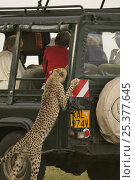 Купить «Female Cheetah (Acinonyx jubatus) known as Kike, featured in the BBC Big Cat Diary, standing on hind legs looking into safari vehicle, Masai Mara, Kenya», фото № 25377645, снято 23 июля 2018 г. (c) Nature Picture Library / Фотобанк Лори