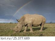Купить «Southern white rhinoceros (Ceratotherium simum simum) with rainbow and storm clouds. Ol Pejeta Conservancy, Kenya, 2009. Threatened species.», фото № 25377689, снято 15 декабря 2017 г. (c) Nature Picture Library / Фотобанк Лори