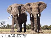 Купить «Two African elephants (Loxodonta africana) approaching with curiosity, Masai Mara National Reserve, Kenya, February», фото № 25377781, снято 13 июля 2020 г. (c) Nature Picture Library / Фотобанк Лори
