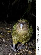 Kakapo (Strigops habroptila) wild male known as Sirocco, night parrot, Codfish Island, off Stewart Island, southern New Zealand, Critically endangered species. Стоковое фото, фотограф Mark Carwardine / Nature Picture Library / Фотобанк Лори