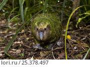 Купить «Kakapo (Strigops habroptila) wild male known as Sirocco walking along the ground, night parrot, Codfish Island, off Stewart Island, southern New Zealand, Critically endangered species», фото № 25378497, снято 5 августа 2020 г. (c) Nature Picture Library / Фотобанк Лори