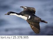 Купить «Blue-eyed shag / South Georgia cormorant (Phalacrocorax atriceps georgianus) in flight, St. Andrews Bay, South Georgia, Antarctica. November», фото № 25378905, снято 24 сентября 2018 г. (c) Nature Picture Library / Фотобанк Лори
