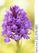 Купить «Pyramidal orchid (Anacamptis pyramidalis) flower, Vieste, Gargano NP, Gargano Peninsula, Apulia, Italy, April 2008», фото № 25379481, снято 23 июля 2018 г. (c) Nature Picture Library / Фотобанк Лори