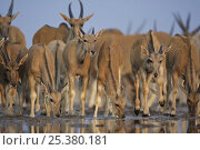 Herd of Eland (Taurotragus oryx) drinking with young at the front, Etosha National Park, Namibia, June. Стоковое фото, фотограф Tony Heald / Nature Picture Library / Фотобанк Лори