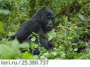 Mountain gorilla (Gorilla beringei) Bwindi Impenetrable National Park, Uganda. Стоковое фото, фотограф Edwin Giesbers / Nature Picture Library / Фотобанк Лори