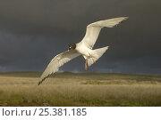 Купить «Swallow tailed gull (Larus furcatus) flying, note tagging ring, Punto Cevallos, Española / Hood Island, Galapagos Islands», фото № 25381185, снято 20 июля 2018 г. (c) Nature Picture Library / Фотобанк Лори