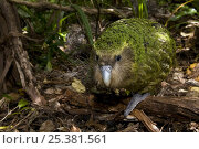 Купить «Kakapo (Strigops habroptila) wild male known as Sirocco walking along the ground, night parrot, Codfish Island, off Stewart Island, southern New Zealand, Critically endangered species», фото № 25381561, снято 5 августа 2020 г. (c) Nature Picture Library / Фотобанк Лори