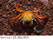 Купить «Sally lightfoot crab {Grapsus grapsus} Rabida Island, Galapagos, January», фото № 25382853, снято 22 марта 2019 г. (c) Nature Picture Library / Фотобанк Лори