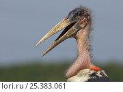 Marabou stork (Leptoptilos crumeniferus) Uganda. Стоковое фото, фотограф Edwin Giesbers / Nature Picture Library / Фотобанк Лори