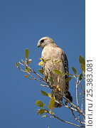Red-shouldered hawk (Buteo lineatus), perched in a tree, Ding Darling Nature Reserve, Sanibel Island, Florida, USA. Стоковое фото, фотограф Adrian Davies / Nature Picture Library / Фотобанк Лори