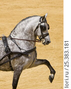 Купить «Purebred grey Andulasian stallion carriage horse, high trotting, Carriages Exhibition, Seville, Spain», фото № 25383181, снято 16 августа 2018 г. (c) Nature Picture Library / Фотобанк Лори