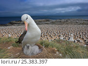 Black-browed albatross (Thalassarche melanophrys) with chick on nest, part of a large colony, Steeple Jason, Falkland Islands (non-ex) Стоковое фото, фотограф Andy Rouse / Nature Picture Library / Фотобанк Лори