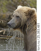 Grizzly bear (Ursus arctos horribilis) fishing for salmon, Katmai Coast, Alaska (non-ex) Стоковое фото, фотограф Andy Rouse / Nature Picture Library / Фотобанк Лори