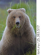 Grizzly bear (Ursus arctos horribilis) sow feeding in meadow, Katmai Coast, Alaska (non-ex) Стоковое фото, фотограф Andy Rouse / Nature Picture Library / Фотобанк Лори