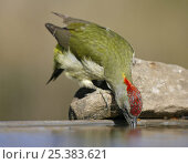 Green Woodpecker (Picus viridis sharpei) female drinking, Spain, December. Стоковое фото, фотограф Markus Varesvuo / Nature Picture Library / Фотобанк Лори