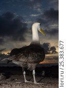 Купить «Waved albatross (Phoebastria irrorata) rear view, Punta Cevallos, Española Island, Galapagos Islands», фото № 25383677, снято 20 марта 2019 г. (c) Nature Picture Library / Фотобанк Лори