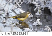 Купить «Grey wagtail (Motacilla cinerea) drinking from pond in winter, Vantaa, Finland», фото № 25383981, снято 24 января 2019 г. (c) Nature Picture Library / Фотобанк Лори