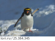 Macaroni penguin (Eudyptes chrysolophus) with one wing up, one wing down, South Georgia. Стоковое фото, фотограф Andy Rouse / Nature Picture Library / Фотобанк Лори