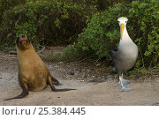 Купить «Waved albatross (Phoebastria irrorata) and Galapagos sealion (Zalophus californianus wollebaeki) Punta Cevallos, Española Island, Galapagos Islands», фото № 25384445, снято 20 марта 2019 г. (c) Nature Picture Library / Фотобанк Лори