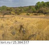 Купить «Bengal tiger (Panthera tigris tigris) female stalking deer in long grass, Ranthambore NP, Rajasthan, India», фото № 25384517, снято 22 марта 2019 г. (c) Nature Picture Library / Фотобанк Лори