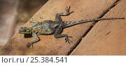 Namibian rock agama (Agama planiceps planiceps) female, digitally enhanced, Namibia, Africa. Стоковое фото, фотограф Kim Taylor / Nature Picture Library / Фотобанк Лори