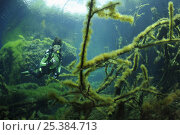 Купить «Scuba diver explores a cenote (a freshwater sinkhole), with algae covered tree branches on bottom. Riviera Maya, Yucatan Peninsula, Mexico. Model released. NOT FOR SALE IN THE USA», фото № 25384713, снято 18 января 2020 г. (c) Nature Picture Library / Фотобанк Лори