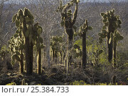 Купить «Giant prickly pear cacti (Opuntia sp.). Cerro Dragon, Santa Cruz Island, Galapagos Islands.», фото № 25384733, снято 28 января 2020 г. (c) Nature Picture Library / Фотобанк Лори