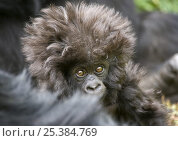 Купить «Mountain gorilla (Gorilla beringei beringei) young baby with hairy head, Volcanoes NP, Virunga mountains, Rwanda», фото № 25384769, снято 25 сентября 2018 г. (c) Nature Picture Library / Фотобанк Лори