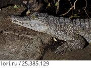 Купить «Philippine crocodile (Crocodylus mindorensis) captive, from Philippines, Critically Endangered», фото № 25385129, снято 15 октября 2019 г. (c) Nature Picture Library / Фотобанк Лори