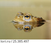 Купить «Toad partially submerged in pond with head reflected in water, captive», фото № 25385497, снято 30 марта 2020 г. (c) Nature Picture Library / Фотобанк Лори