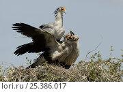 Secretary Bird {Sagittarius serpentarius} adult feeding fledglings at nest, Masai Mara GR, Kenya. Стоковое фото, фотограф Mary McDonald / Nature Picture Library / Фотобанк Лори